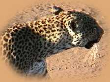 Leopard on a mission!