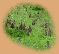 We haven't seen larger troops of Baboon than in Tarangire - there must be hundreds in some troops