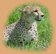 Cheetah sitting in the grass below Naabi Hill.