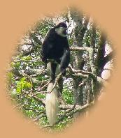 Colobus Monkey in the treetops