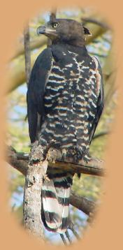African Crowned Eagle just outside Finch Hatton's Camp. We think this was one of a pair of juveniles released the year before.
