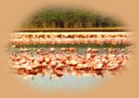 Flamingos in Lake Nakuru