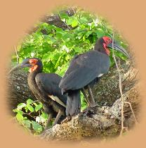A pair of Ground Hornbills, pecking at a sign nailed to a tree - why?