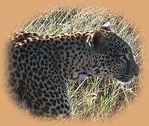 We followed this Leopard for 3 miles! Such a thrill for our first visit to the area.