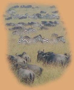 Zebra and Wildebeest - the migration in full swing