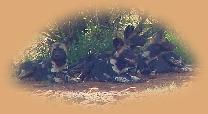 A pack of Wild Dogs - a rare treat. We watched them for 45 mins!
